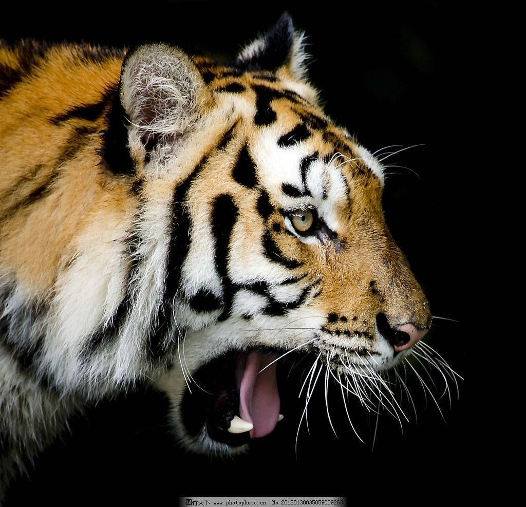 唯美 炫酷 凶猛 动物 野生动物 老虎 摄影 生物世界 野生动物 300dpi