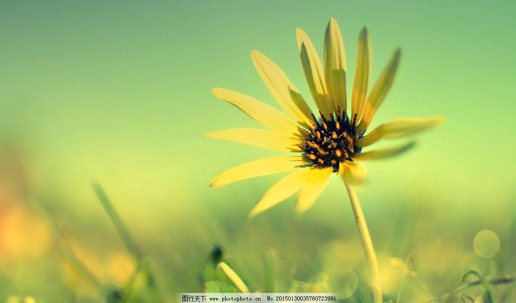 唯美荷叶菊 唯美背景 小清新 花草 唯美壁纸 唯美意境 植物花朵 背景