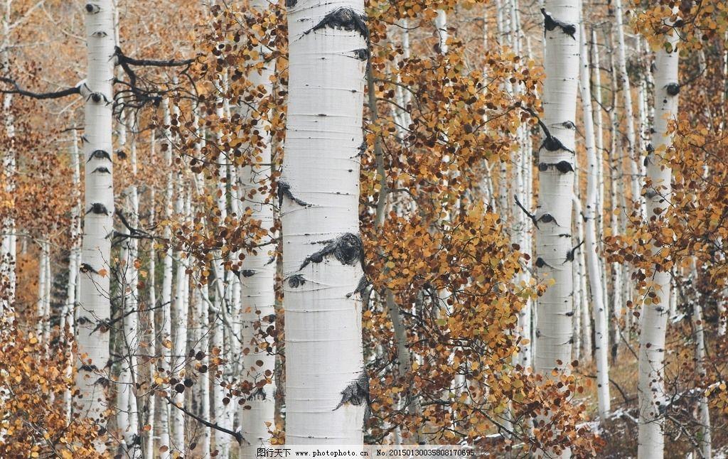 白桦树林图片