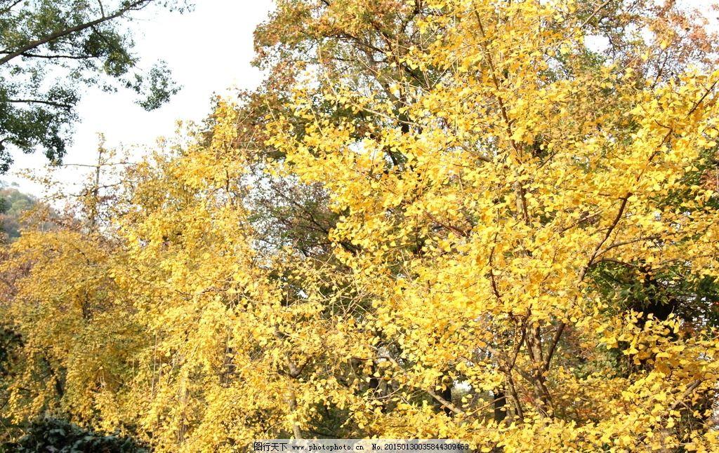 银杏 秋天 天平山 银杏树 黄叶 摄影