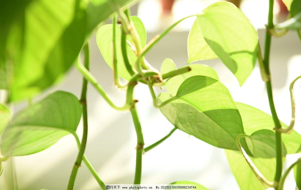 绿萝叶子图片