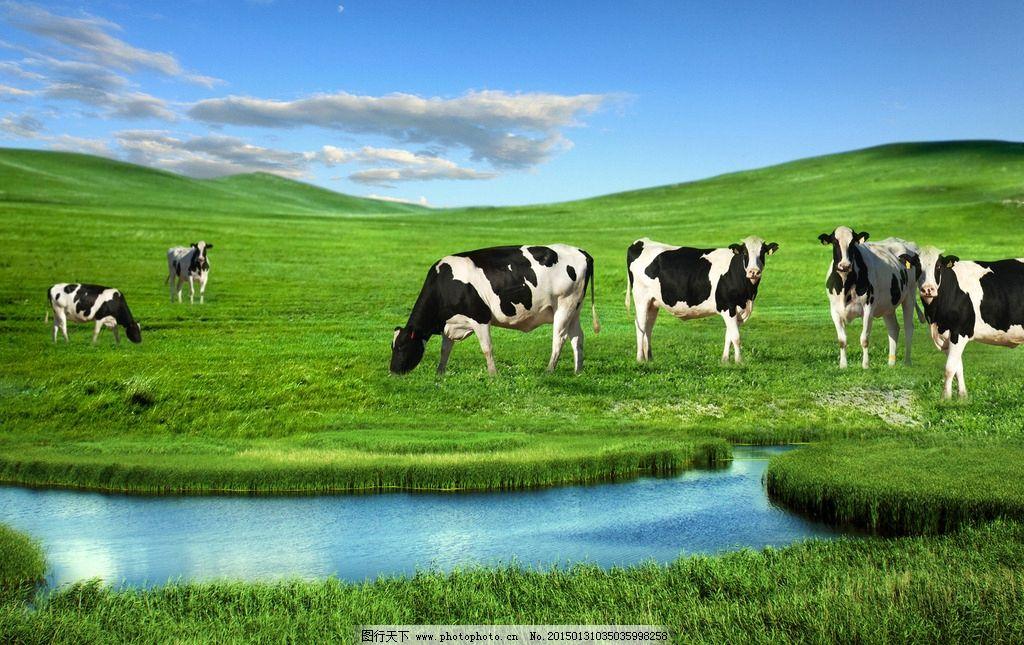 草地 蓝天白云 绿草地 奶牛 牛 草原奶牛 摄影 生物世界 野生动物 30