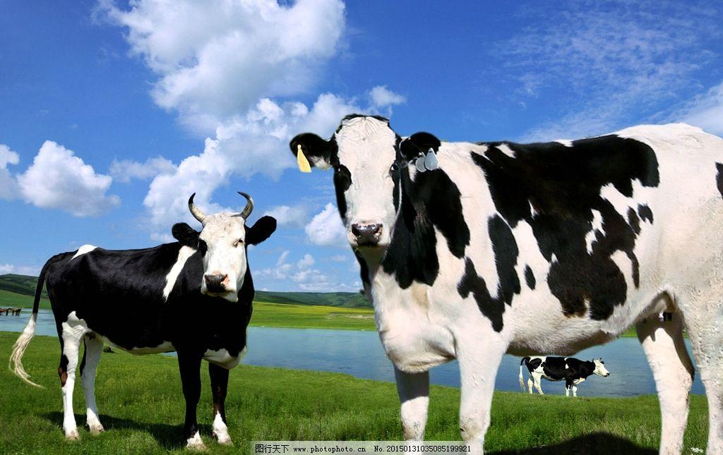 草地 蓝天白云 绿草地 奶牛 牛 草原奶牛  摄影 生物世界 野生动物 35