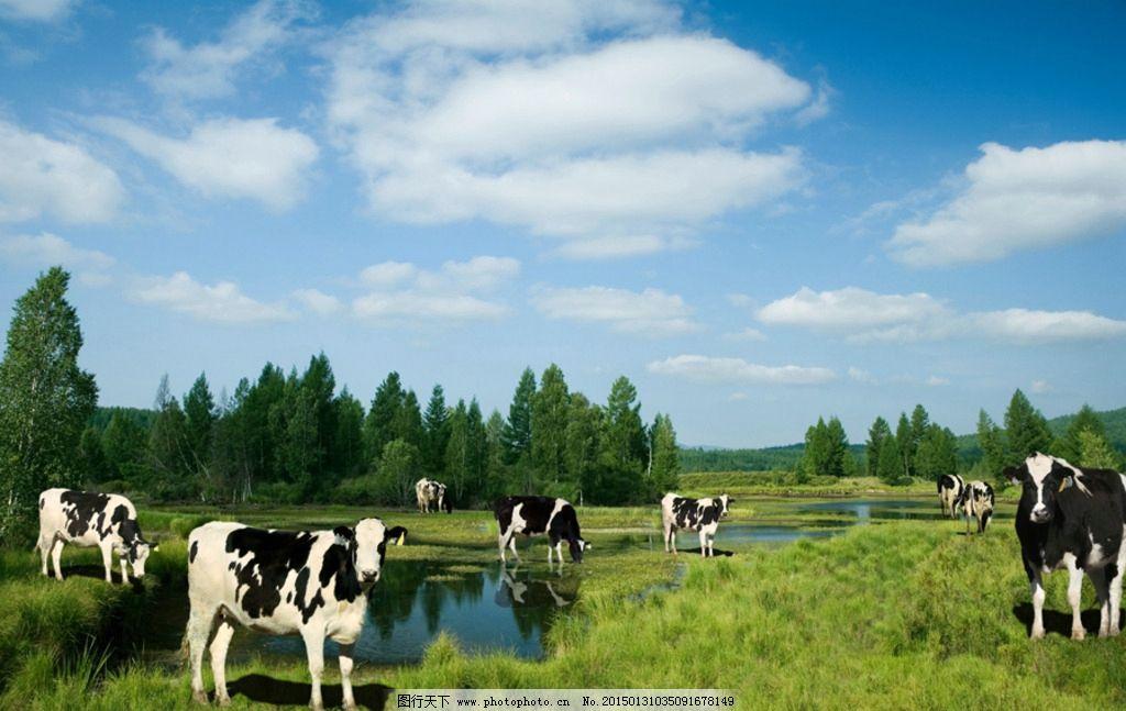 草地 蓝天白云 绿草地 奶牛 牛 草原奶牛 摄影 生物世界 野生动物 72