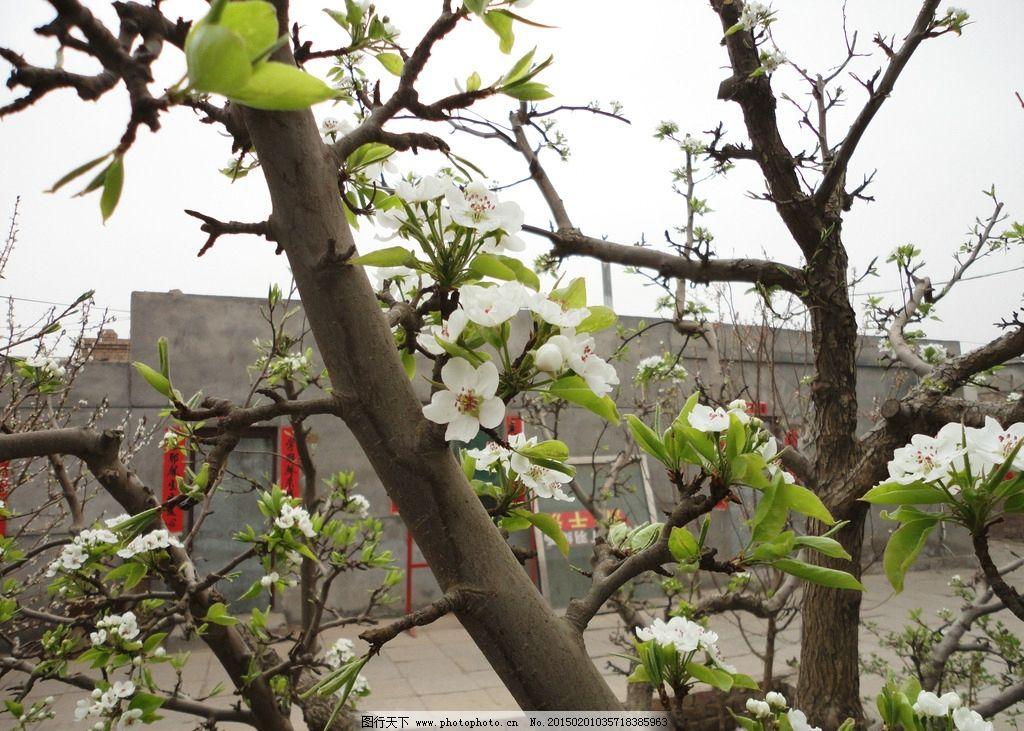 梨树 梨花 春天 南国梨 绿叶 临河 包头 树木 摄影 摄影 摄影 生物
