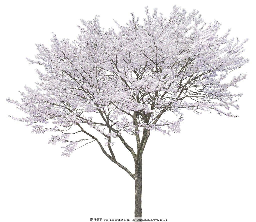 樱花 樱花树 景观植物 树 乔木 园林树 名贵植物 建筑园林 自然景观