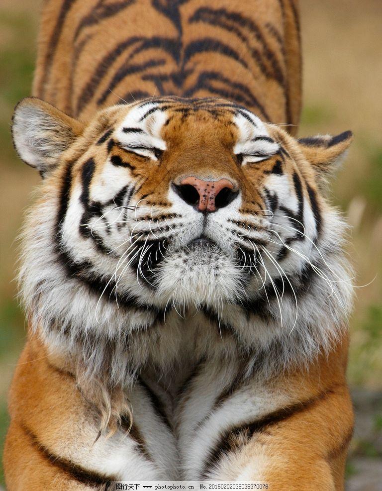 唯美 动物 野生动物 凶猛 老虎  摄影 生物世界 野生动物 300dpi jpg
