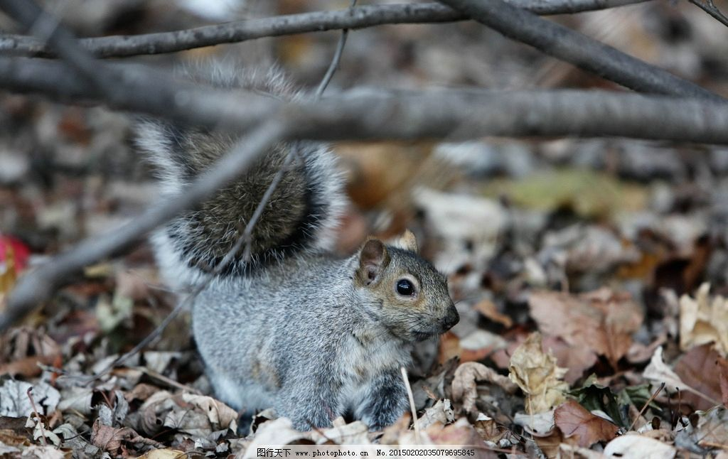 树叶 落叶 松鼠 秋天 摄影 摄影图片 摄影 生物世界 野生动物 72dpi