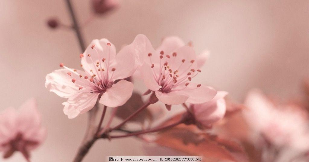 粉色梅花唯美图片