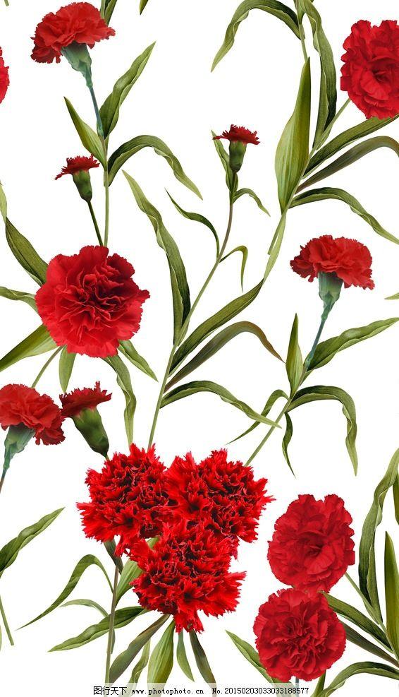 手绘康乃馨 花朵 高清 分层
