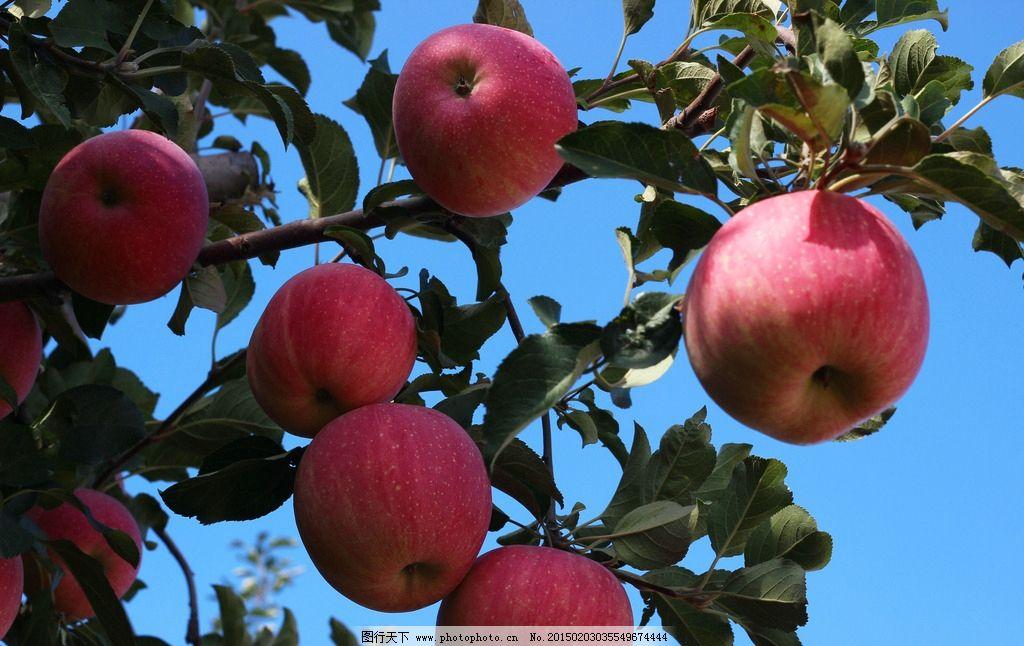 苹果 果树 苹果树 采摘 果食 摄影练习 摄影 生物世界 水果 72dpi jpg