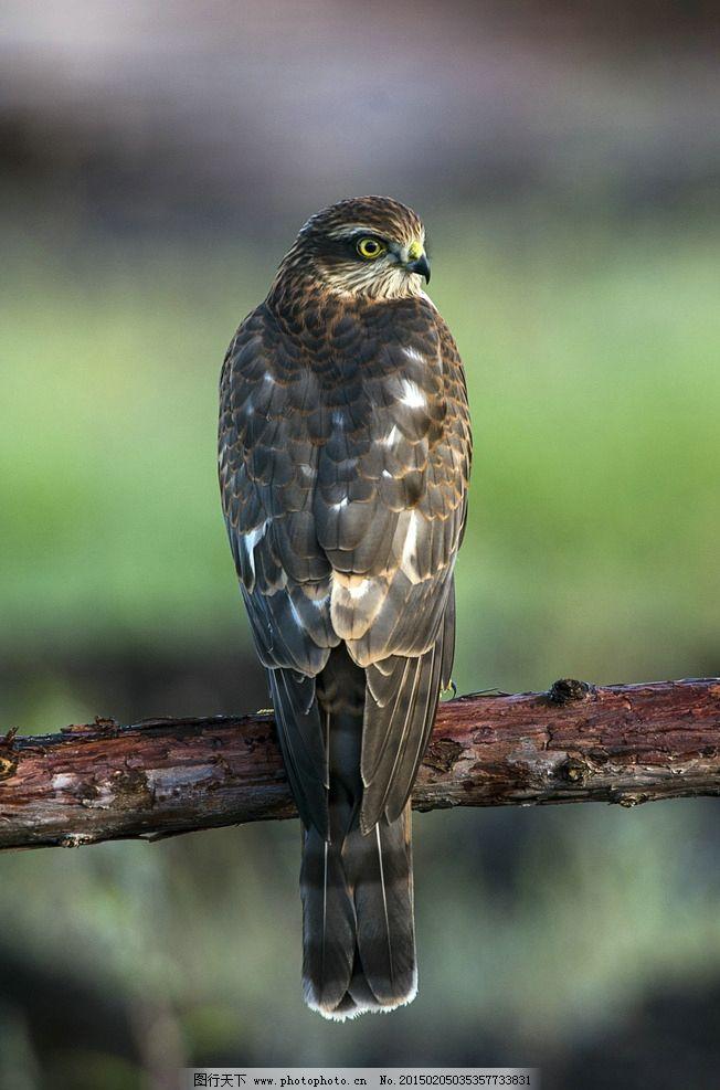 鸟鹰 飞禽 动物 野生飞鸟 远眺 摄影 生物世界 鸟类 240dpi jpg
