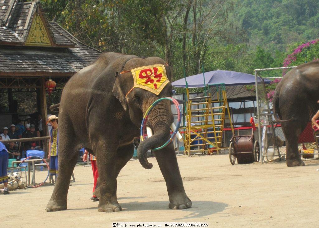 大象 象群 象 大象表演 象群演出  摄影 生物世界 野生动物 180dpi jp