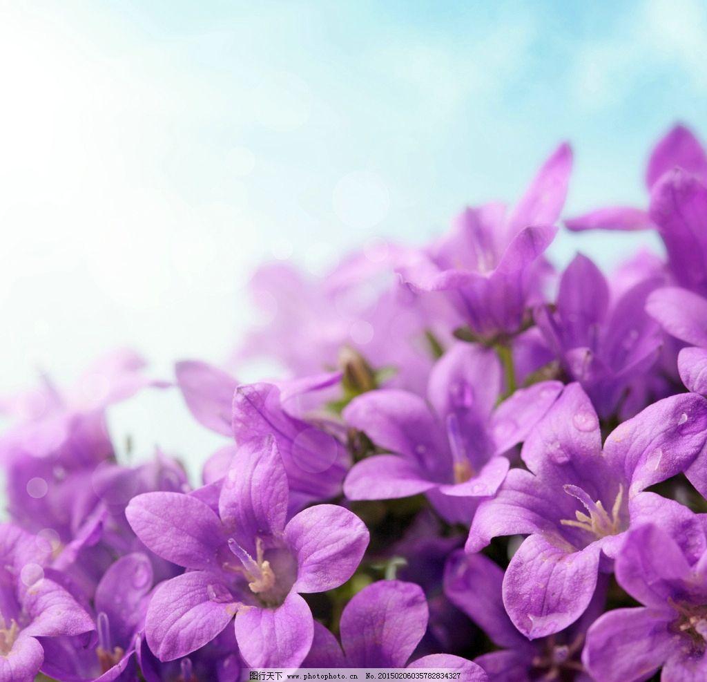 唯美紫色鲜花 鲜花 紫色鲜花 鲜花背景 鲜花素材 清新背景 小清新