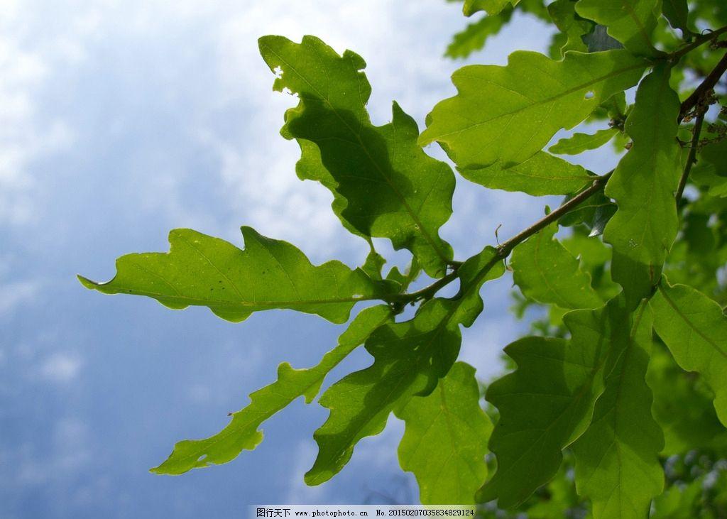 唯美 树叶 叶子 植物 自然 摄影 生物世界 树木树叶 240dpi jpg