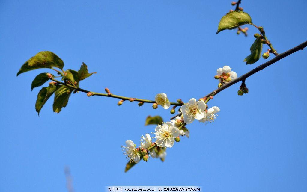 梅花 花蕊 花骨朵 绽放的梅花 含苞待放 树枝 绿叶蓝天 摄影 生物世界