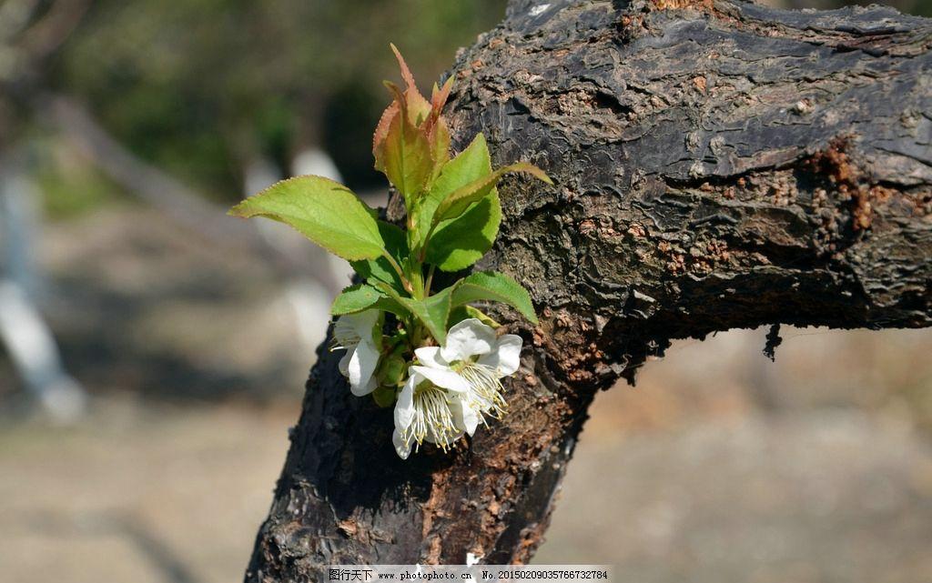 梅花 花蕊 花骨朵 绽放的梅花 含苞待放 树枝 树干 绿叶 摄影