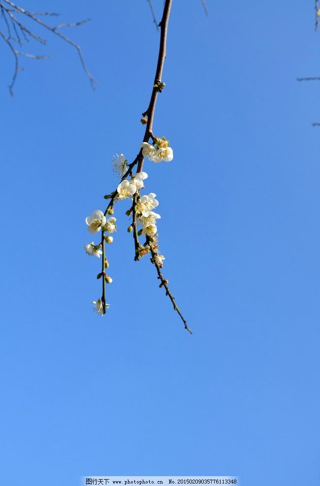 梅花 花蕊 花骨朵 绽放的梅花 含苞待放 树枝 蓝天 摄影 生物世界
