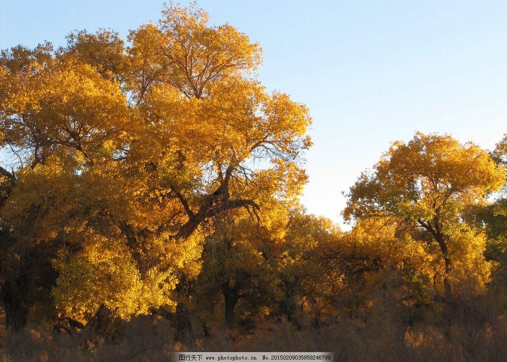 树林 胡杨林 胡杨树 秋林 金黄树木 秋日胡杨 摄影 生物世界 树木树叶