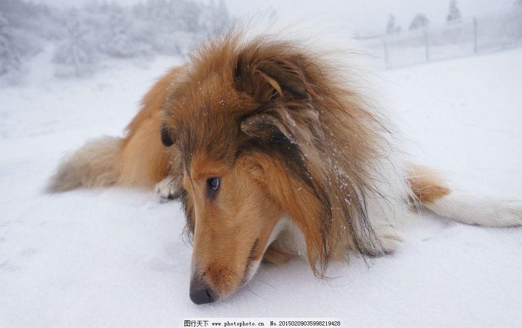 雪地里的狗图片