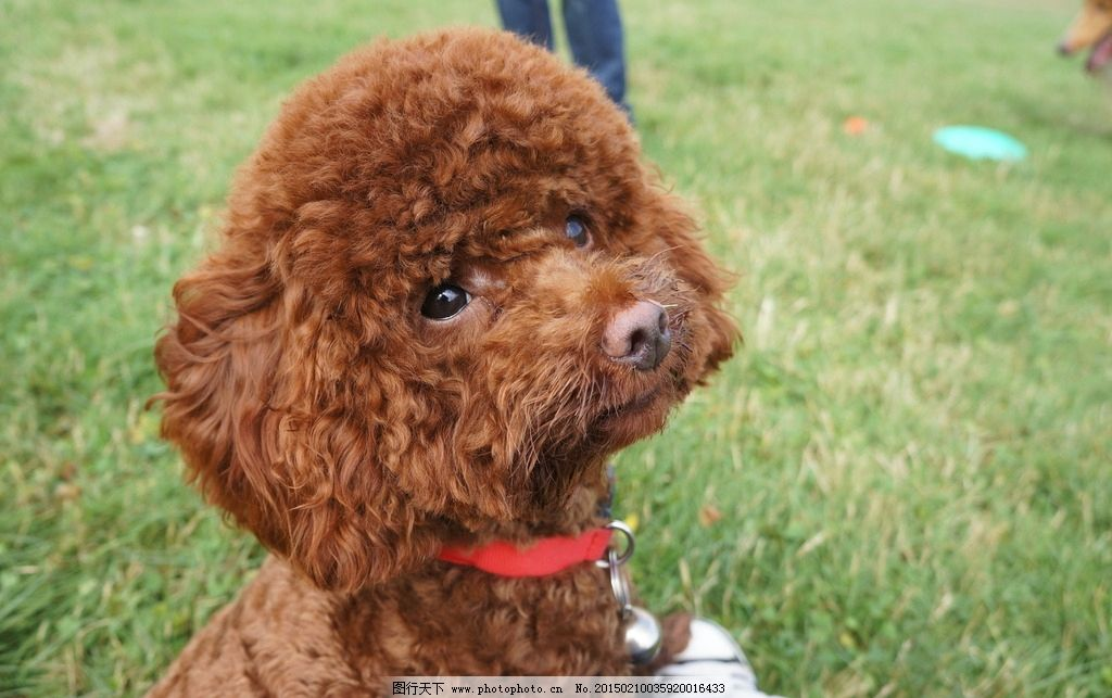 红泰迪 贵宾犬 萌宠 狗狗 草地上的狗 草原上的狗 狗狗特写 泰迪特写