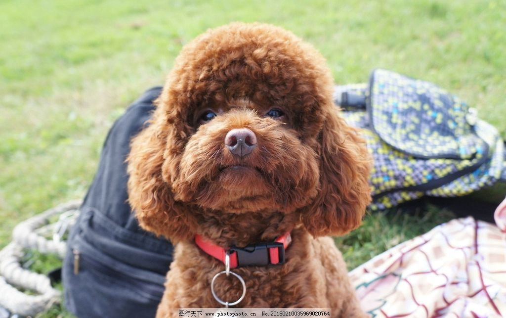 贵宾犬 泰迪 红泰迪 萌宠 狗狗 草地上的狗 草原上的狗 狗狗特写 泰迪