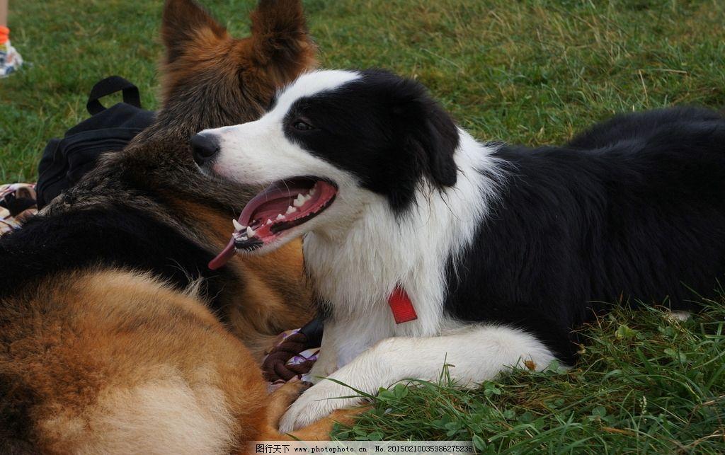 宠物狗 草地上的狗 草原上的狗 边牧特写 摄影-宠物 摄影 生物世界 家