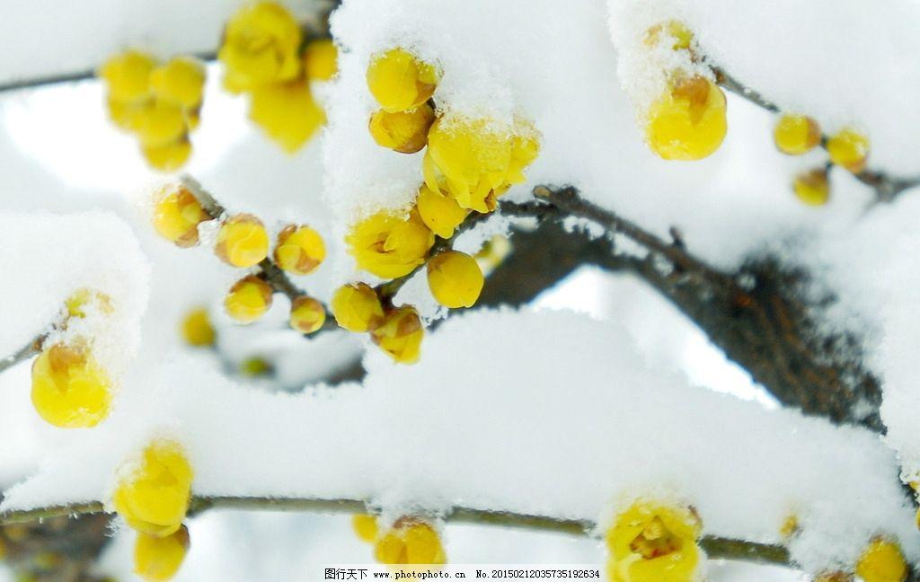 冬日雪中腊梅图片