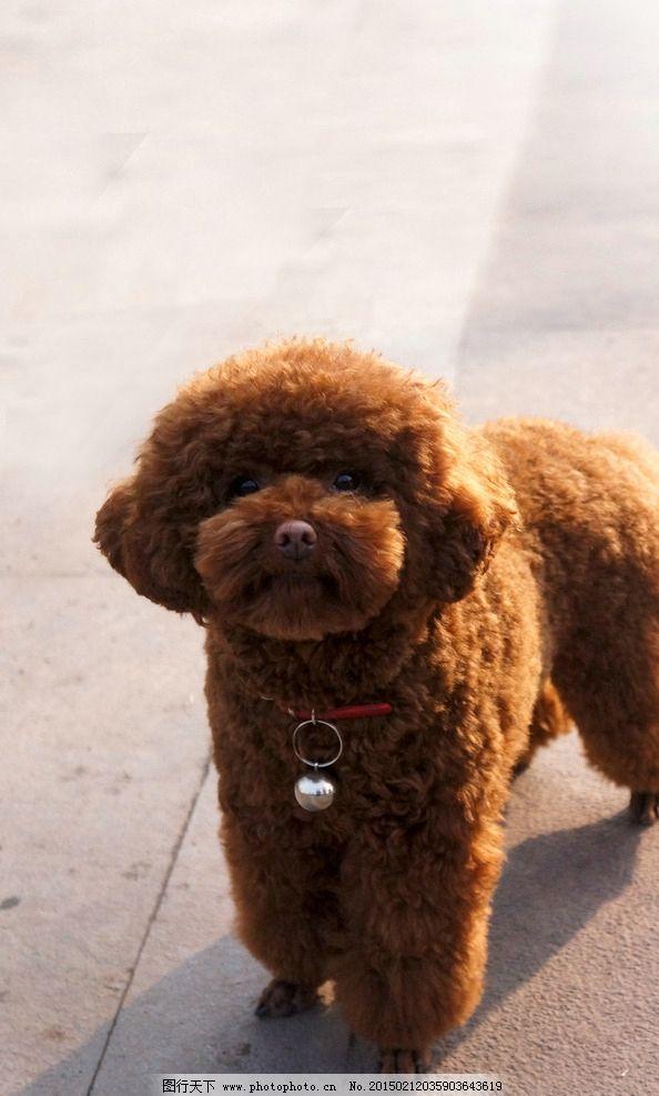 贵宾犬 泰迪 红泰迪 泰迪熊 萌宠 狗狗 草地上的狗 草原上的狗 狗狗特