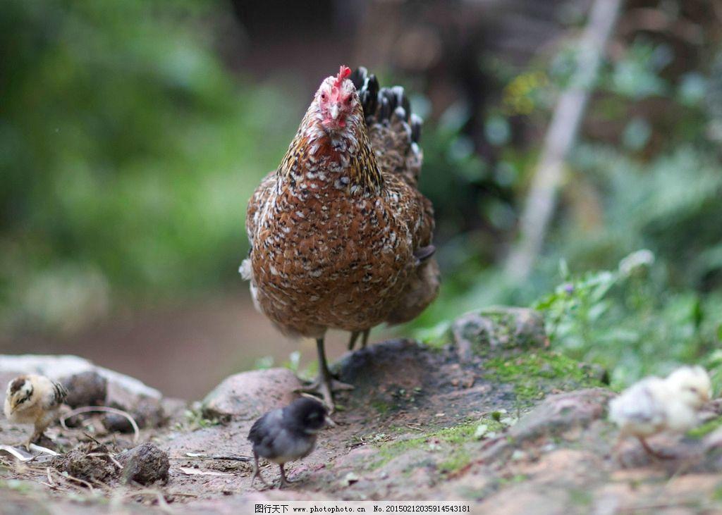 唯美 公鸡 野鸡 动物 可爱