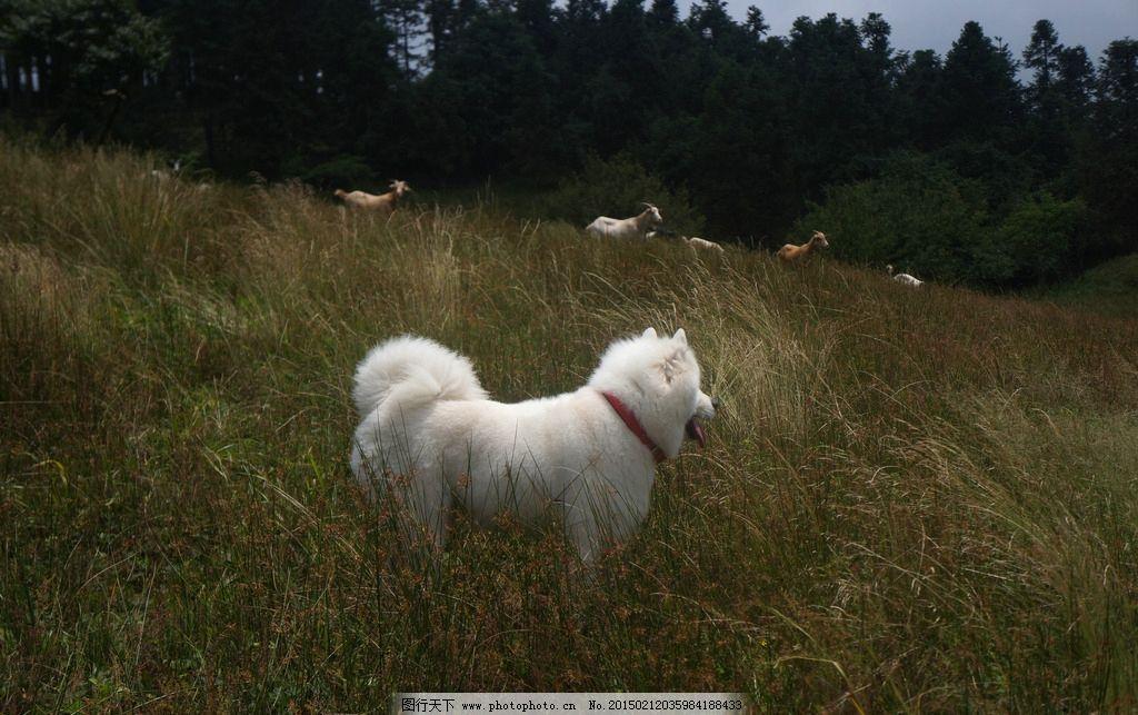萨摩耶/萨摩耶与羊群图片