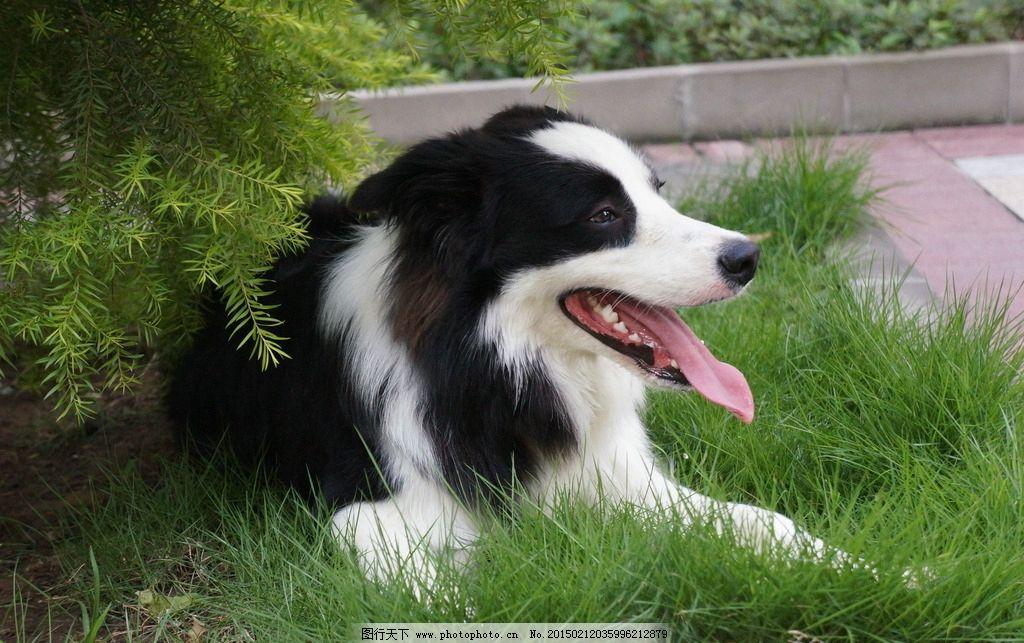 边牧特写 大型犬 宠物摄影 萌宠 狗狗摄影 摄影-宠物 摄影 生物世界