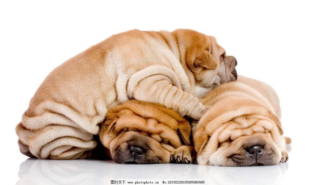 沙皮狗 沙皮犬 狗狗 可爱 超萌 小狗 犬 萌狗狗 睡觉 萌宠 宠物 可爱