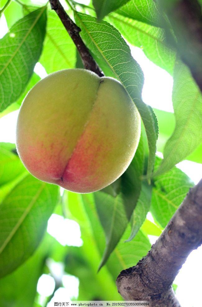 水果 桃子 水蜜桃 阳山水蜜桃 桃 树上的桃子 原创水果摄影 摄影 生物