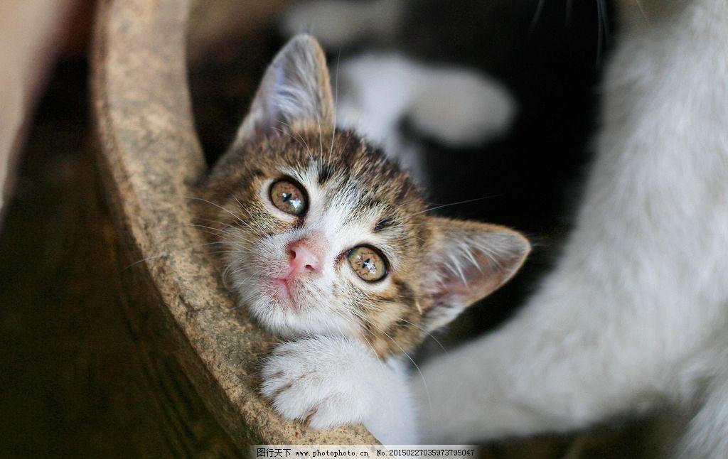 可爱小猫 动物摄影 猫 小猫 猫猫 猫咪 家畜 生物世界 摄影 家宠 宠物