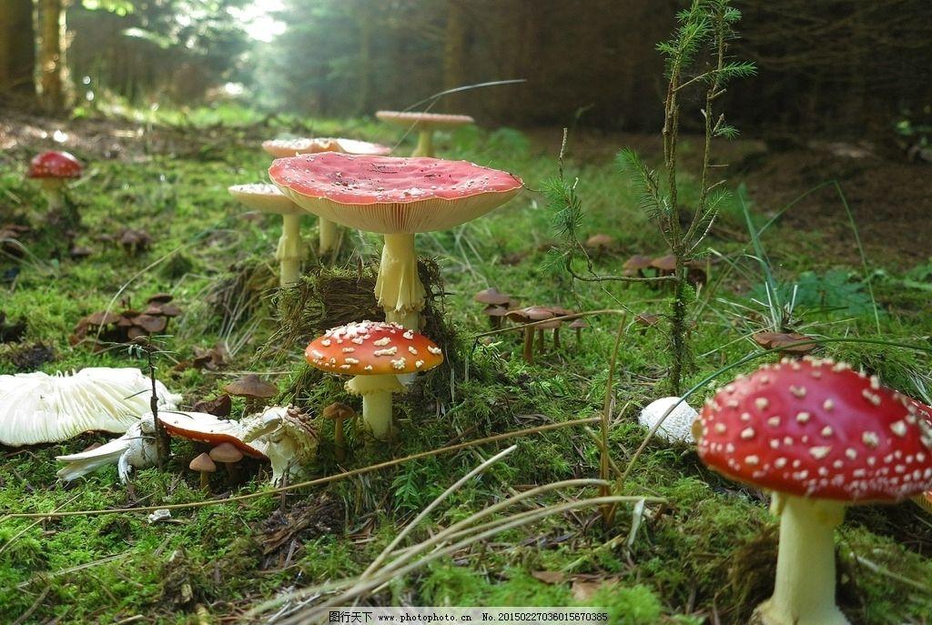 蘑菇 毒蘑菇 菌类 植物 生物 红色蘑菇 森林 草地 草坪 小蘑菇 绿色