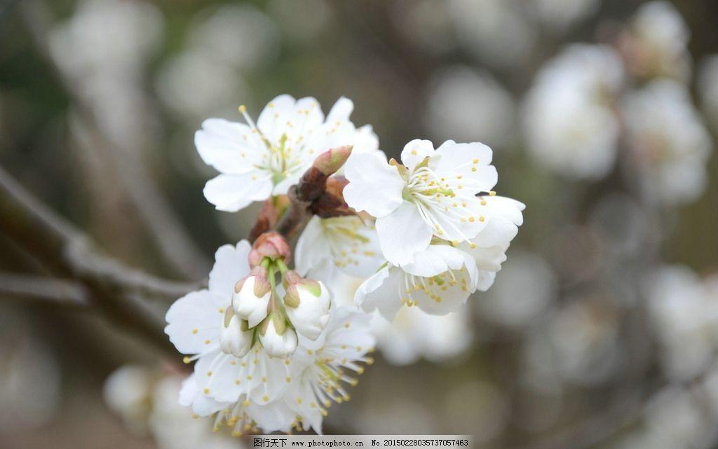 植物 木本植物 樱桃 樱桃树 樱桃花 野樱桃树 野樱桃花 白色樱桃花 摄