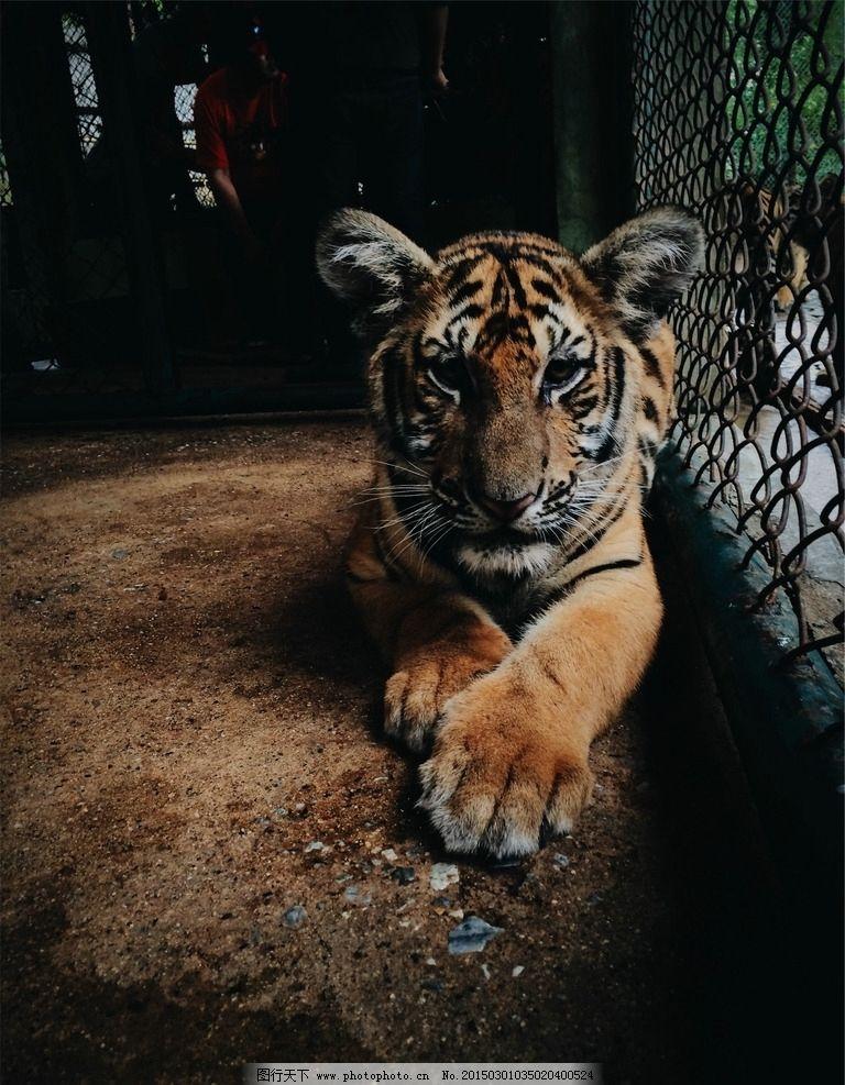 虎 动物 自然 动物园 虎年 摄影 生物世界 野生动物
