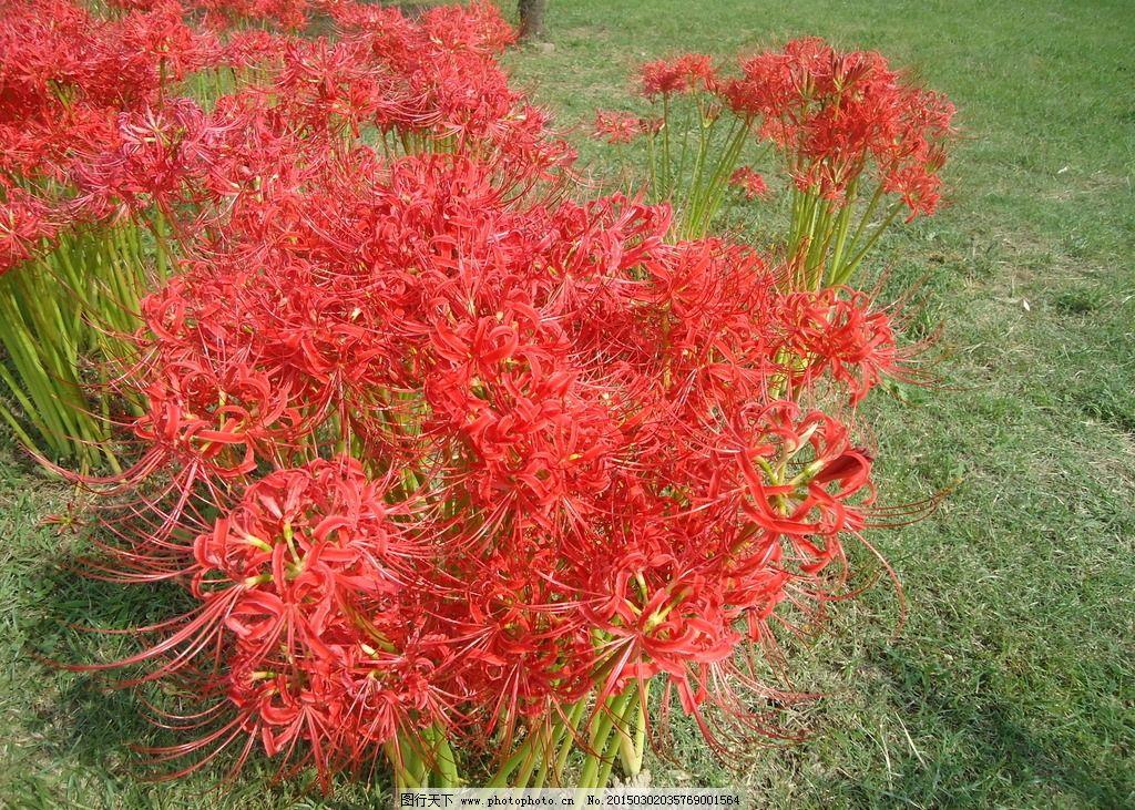 唯美 花 自然 植物 彼岸花 摄影 生物世界 花草 72dpi jpg