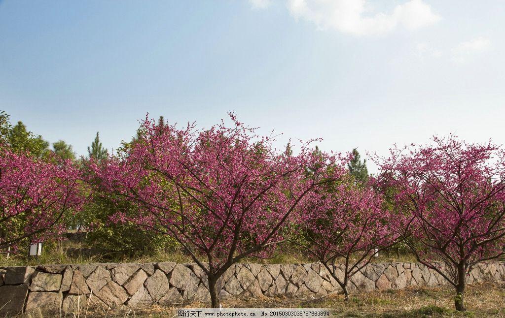 梅花 天空 蓝天 白云 绿树 自然风景 公园 摄影 生物世界 花草 240dpi