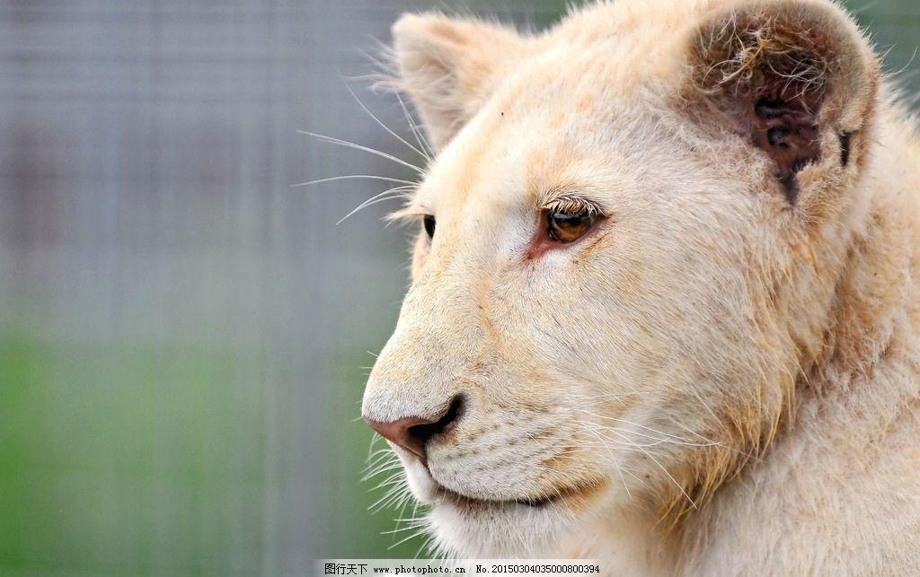 白狮图片_野生动物_生物世界