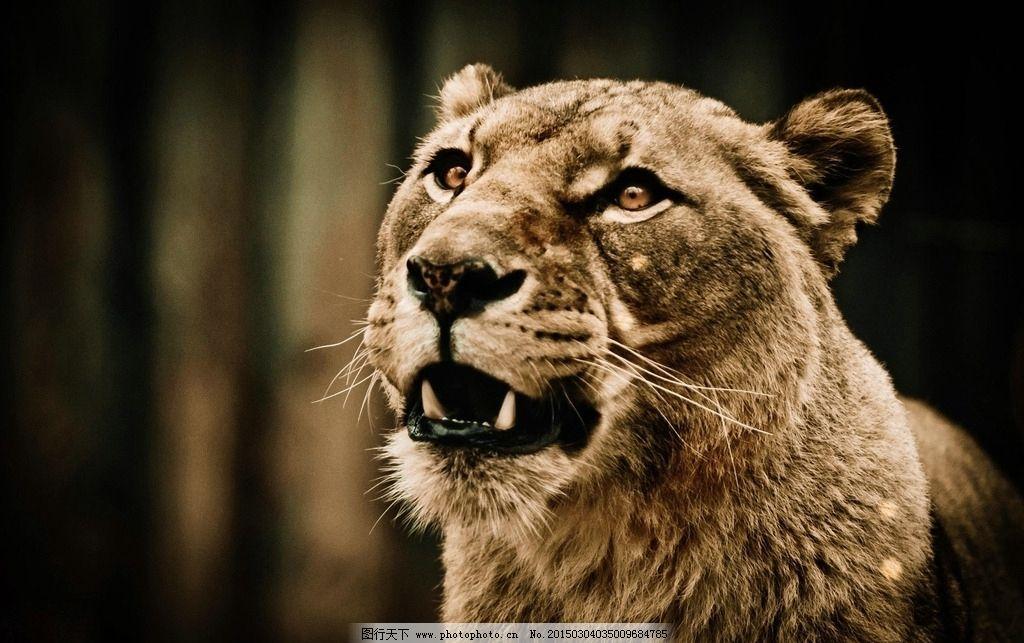 雄狮 猛兽 猫科动物 凶猛 食肉动物 飞禽走兽 摄影 生物世界 野生动物