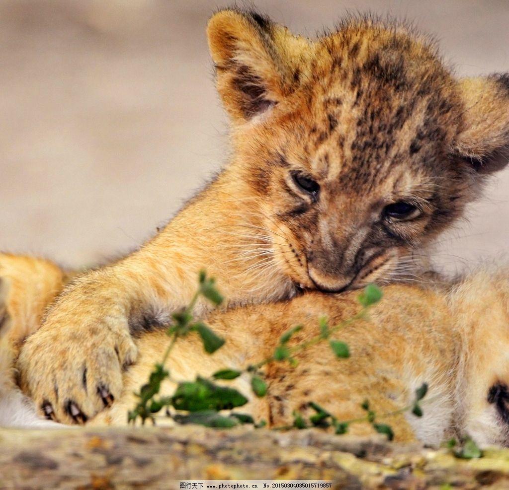狮子 雄狮 猛兽 猫科动物 凶猛 食肉动物 飞禽走兽 摄影 生物世界