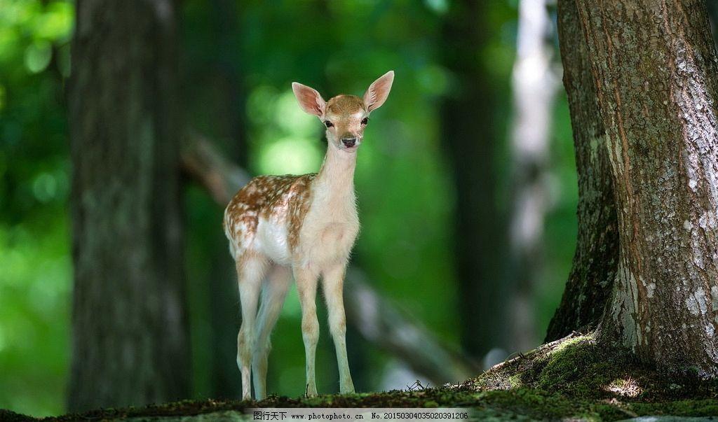 梅花鹿 唯美 动物 野生动物 可爱 摄影 生物世界