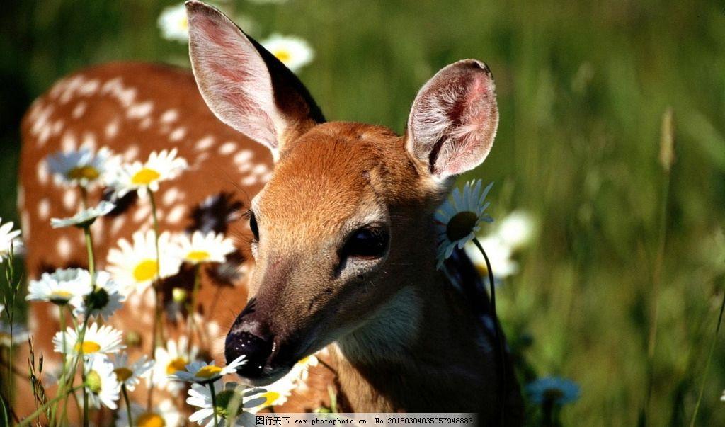 唯美 动物 野生动物 梅花鹿 可爱 摄影 生物世界 野生动物 72dpi jpg