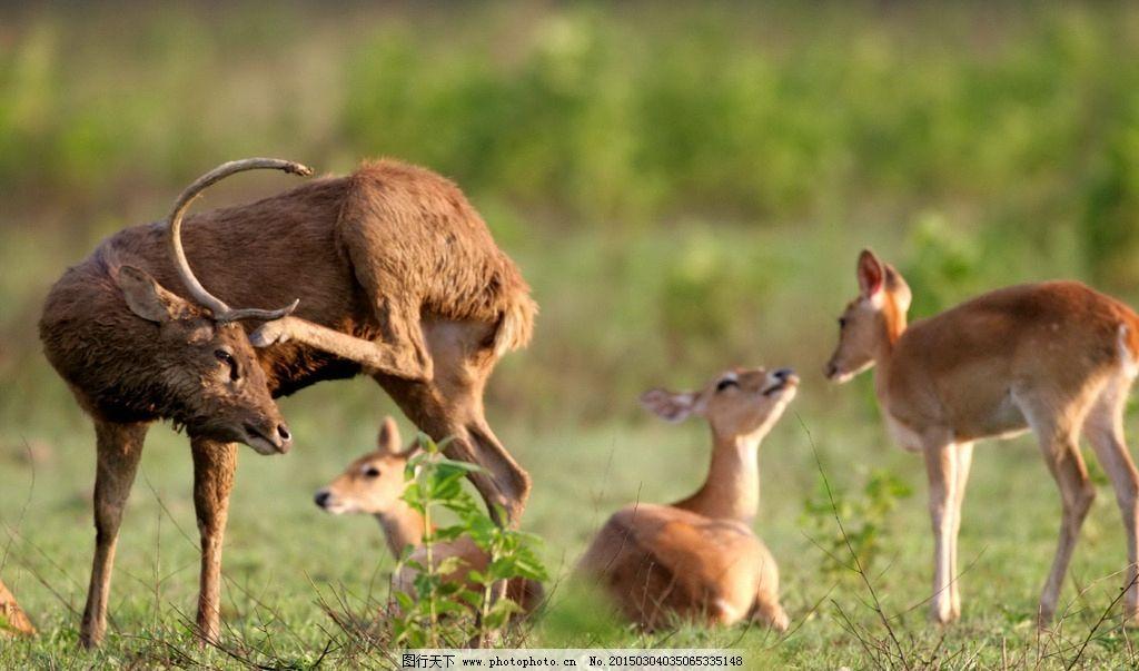 梅花鹿 唯美 动物 野生动物 可爱 小鹿 摄影 生物世界