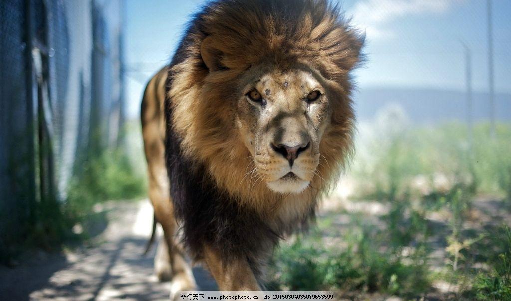 狮子图片_野生动物_生物世界_图行天下图库