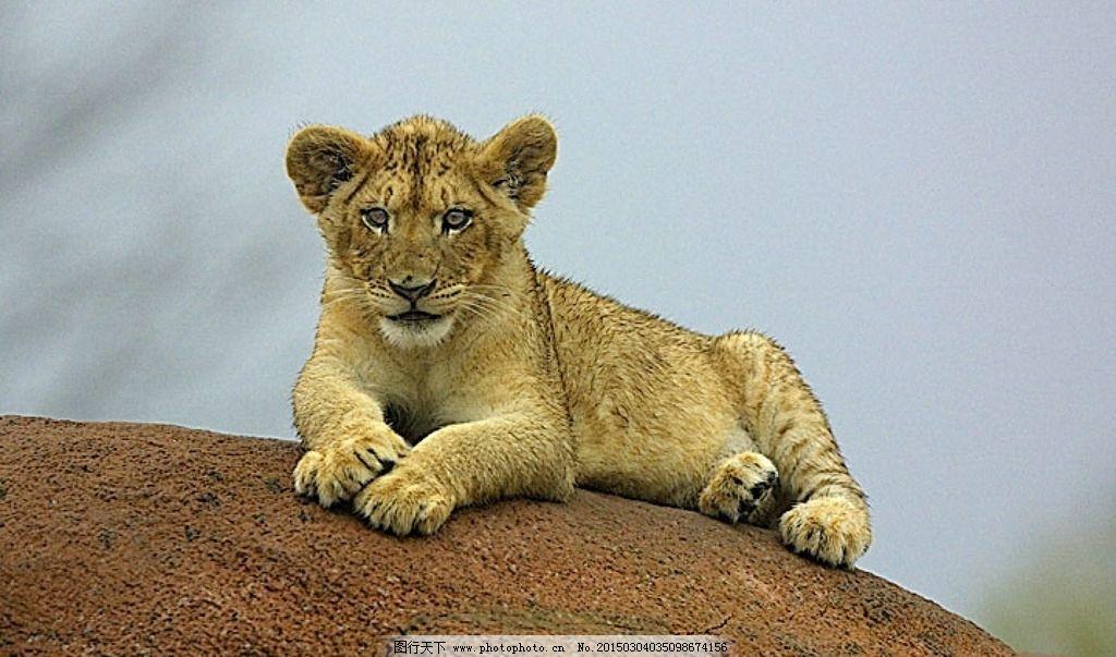 小狮子 雄狮 猛兽 猫科动物 凶猛 食肉动物 飞禽走兽 摄影