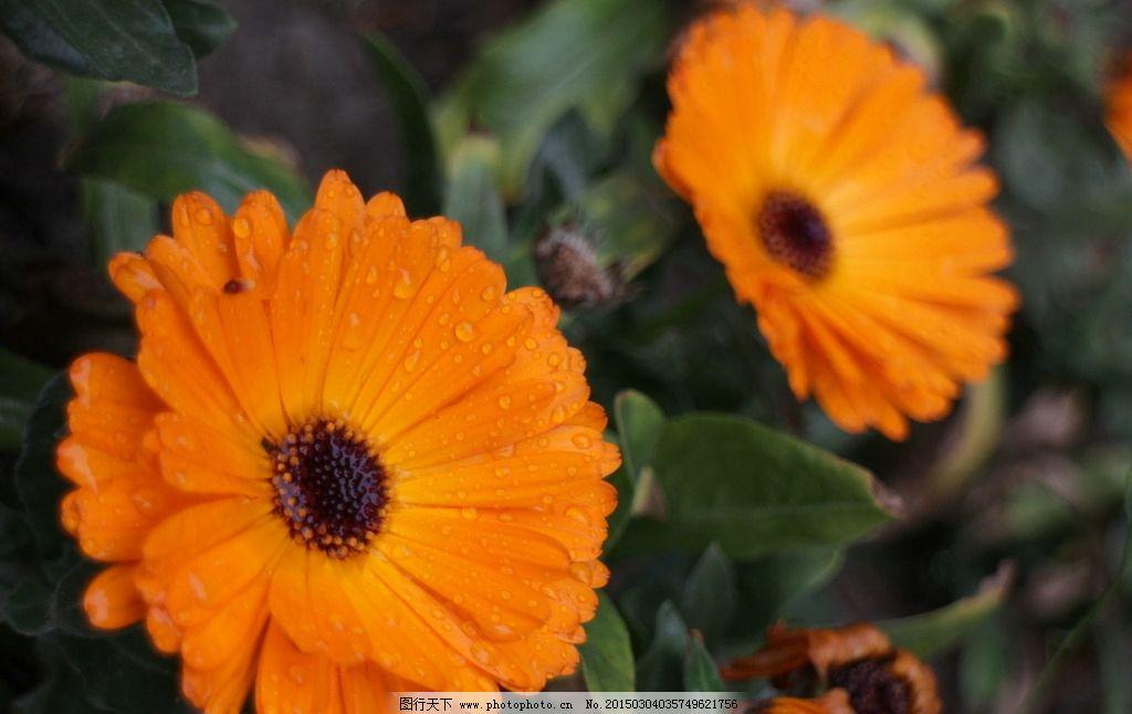 金色非洲菊