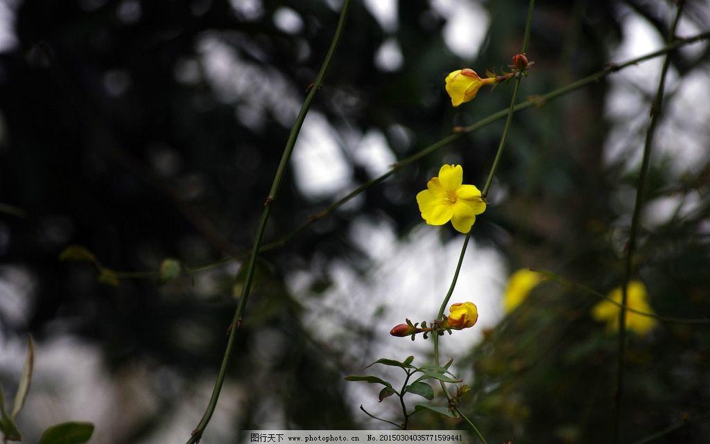 迎春花 春天 最早开的花 春天到了 小黄花  摄影 生物世界 花草 300
